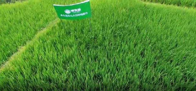 有机水稻千赢app手机下载安装基地4